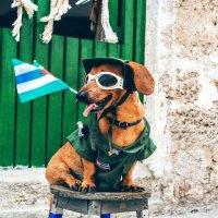Military dog :: Arman S