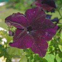Тёмные цветы петунии :: Анатолий Иргл