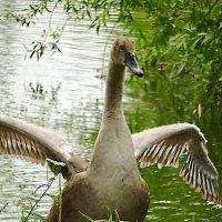Лебедёнок разминается :: Маргарита Батырева