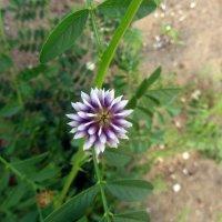 луговые цветы :: tgtyjdrf