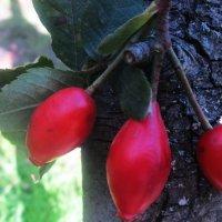 Плоды шиповника :: татьяна