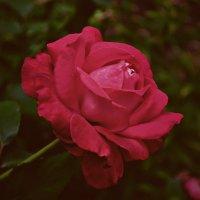 Подари мне розу красную с лепестками тёмно-нежными... :: *MIRA* **