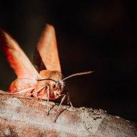 Ночная бабочка.Бражница. :: Olga Kramoreva