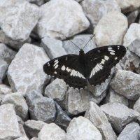 Бабочка на камнях :: marmorozov Морозова