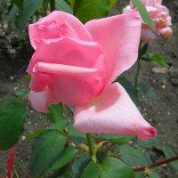 роза.  без  грима. :: Ivana