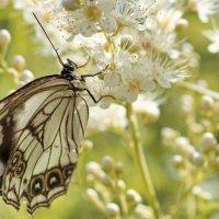 бабочково дачное :: Эдуард Куклин