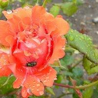 дождь.  роза. :: Ivana