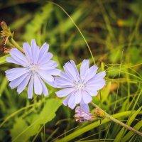 полевой цветок :: Iulia Efremova