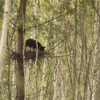 Собака гнездиться в лесах  Новосибирска..... :: Вера Арасланова