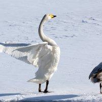 Лебеди на Неве :: Владимир Миронов
