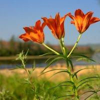 Дикие лилии на берегу Ципы. :: Майя П