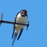деревенская ластояка :: linnud