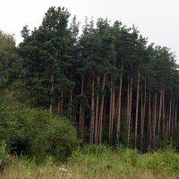 Сосновый лес :: Елена Павлова (Смолова)