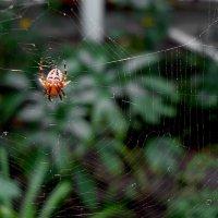 паук :: Ирина Мищенко