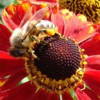пчела на гелениуме :: Анатолий Аверкин