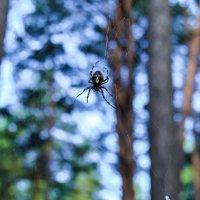 Лесная живность, паук :: Света Кондрашова