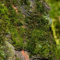 Мох в лесу :: Света Кондрашова