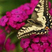 Бабочка красавица :: Наталья Тимофеева