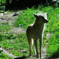 Молоденький волк :: Антонина Гугаева