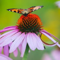 Бабочка :: Екатерина Казакова