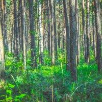 Лес залитый солнце :: Света Кондрашова