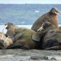 Колония моржей :: Tatiana Belyatskaya