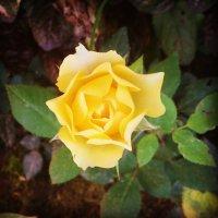 Золотая роза :: Виктория Нефедова