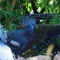 Венценосные голуби :: Ольга Васильева