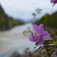 Цветок над рекой. :: Валерий Медведев