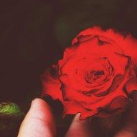 Роза :: Svetlana Uryupina