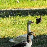 три весёлых гуся.. :: Марина Ринкашикитока
