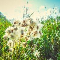 Пуховые цветы :: Света Кондрашова
