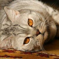 Красивый домашний кот :: Gulyara Rostovtseva