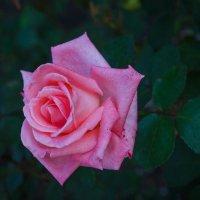 « …Нежный розовый цветок , с ароматом лепесток..» :: Андрей Нибылица
