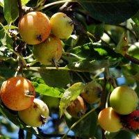 Райские яблочки :: Елена Пономарева