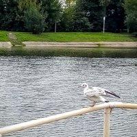 Чайка. :: Larisa Ereshchenko