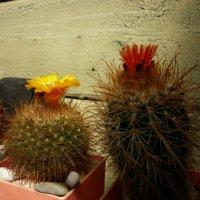 Мои кактусы цветут :: Борис Александрович Яковлев