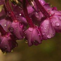 Флоксы под дождём :: Aнна Зарубина