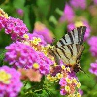 Бабочка собирает нектар с цветка . :: Оля Богданович
