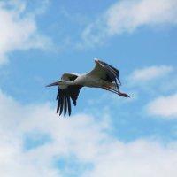 Белый аист летит.. :: Инна Малявина
