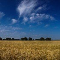 Золотое поле :: Виктор Четошников