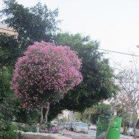 Дерево розовый олеандр :: Герович Лилия