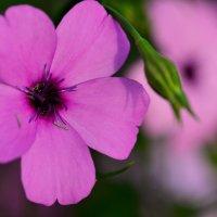 В розовом цвете :: Татьяна Соловьева