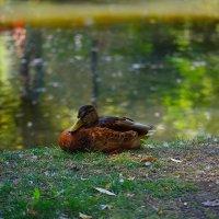 Летний пруд в парке :: Евгений