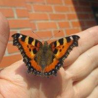 Ручная бабочка.... :: Valentina