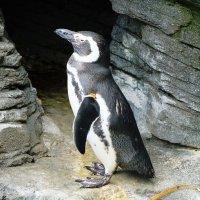 Пингвин :: Ольга Васильева