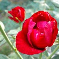 Август,вечер,розы... :: Тамара (st.tamara)