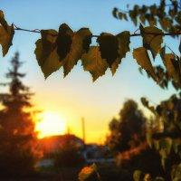 Береза на закате :: Елена Переина