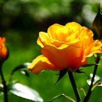 Королева цветов. :: Наталия Скрипка