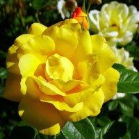 Желтая роза :: Владимир Бровко